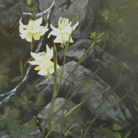 beauty hidden in the boulders -yellow columbine SOLD